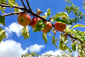 Sade voćke za građane na Dunavskom otoku - prednost daju starim sortama