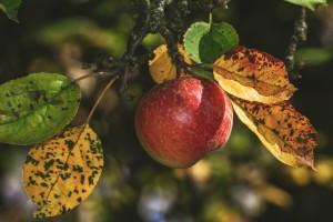 Kako i kada obaviti jesensku pripremu i zaštitu voćaka i maslina