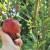 U Zapadnobačkom okrugu ne odustaju od uzgoja jabuka