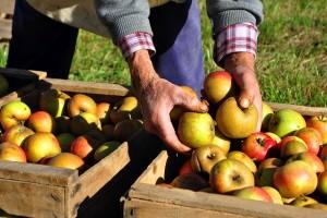Kako pomoću ovih pokazatelja, odrediti pravo vreme berbe voća