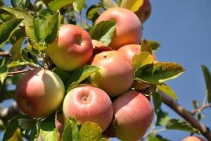 Jabuka zahteva ulaganja, ali ima dobre prinose i kvalitet ploda