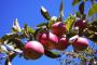 Kupusina: Dobra otkupna cena jabuka