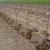 S Agroblen gnojivima u nasadu jabuke ostvarili do 1.000 kg/ha veću proizvodnju
