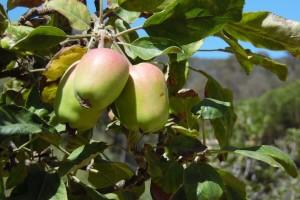 Jabuke iz Hercegovine našle put do egzotičnih destinacija - Maldiva