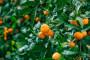 1. studenog - rok za prijave za povlačenje mandarina s tržišta