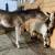 Ždrijebe Arija ostalo bez majke: Koze uskočile u pomoć