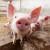 Afrička svinjska kuga - radionice za lovce i veterinare