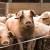 Zabrana uvoza i Pravilnik kao mjere zaštite od afričke svinjske kuge ?