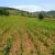 Poticaji za silažni kukuruz 220 KM/ha, prijava proizvodnje do kraja maja