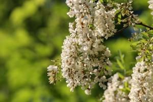 Sirup od bagremovih cvetova jednostavno je napraviti