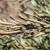 """Najopasnija biljna bakterija: Na vidiku rešenje problema zvanog """"ubica maslina"""""""