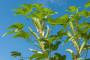 Bamija - lekovito povrće lako za gajenje
