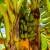 Prva uzgojena banana u Srbiji - ipak neće je biti na tržištu