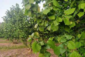 Trulež plodova lijeske se javlja na mjestima napada štetnika – vrijeme je za zaštitu