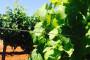 Bayer savjeti za vinogradare 04.-10.07.2017.