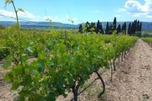 Bayer savjeti za vinogradare 22.05.-27.05.2018.