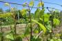 Bayer savjeti za vinogradare 15.-23.05.2017.