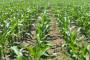 Sjetva kukuruza je u tijeku, razmišljajte o zaštiti