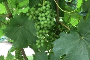 Bayer savjeti za vinogradare 26.06.-01.07.2018.