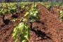 Bayer savjeti za vinogradare 18.-23.04.2017.