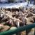 Cena jagnjadi dobra, ali stočari i dalje priželjkuju organizovan otkup