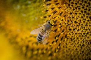 Uginulo na hiljade pčela, a pčelari ne žele platiti analizu suncokreta