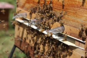 Objavljen Javni natječaj za projekte primijenjenih istraživanja u pčelarstvu