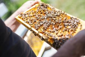 U 2019. osnivanje lokalnog preduzeća za urbano pčelarstvo