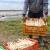 Šparoga: Pripremite zemljište za rasad na vrijeme