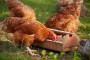 Bijeli luk za zdraviju živinu