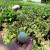 Patlidžan Zebrina sa Kariba raste i kod Živojina Antića