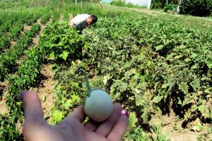 Zebrina sa Kariba raste pored Morave