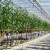 U Belju započela berba rajčica: Godišnje proizvedu i do 2.800 tona
