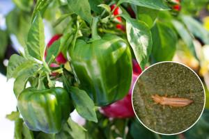 Biološko suzbijanje tripsa na paprici u zaštićenom prostoru