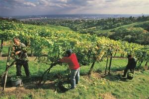 Beč okružen vinogradima - ima jedan i u samom centru grada