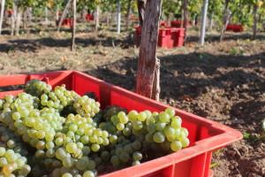 Rujanske čarolije: Mati vina, Aršanjsko vinogorje i Briševo