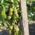 Kako prepoznati simptome zlatne žutice vinove loze?