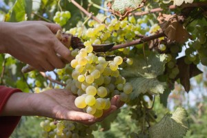 Krajem mjeseca počinje berba grožđa - vinari očekuju vrhunski kvalitet