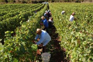 Odlična vinogradarska sezona - vinogradari teško pronalazili berače