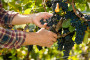 Vinogradarstvo i vinarstvo - šansa za razvoj agrara