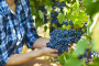 Zbog elementarnih nepogoda i do 35% manje grožđa!