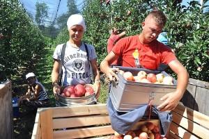 Darko Milošević s Majevice očekuje rod od 40 tona prvoklasne jabuke - u EU najviše traže sortu gala