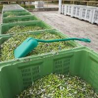 Agrolaguna: Urod maslina do 60% manji, no berba duža jer nedostaje radnika