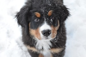 Bernski planinski pas: nežni džin i odan prijatelj