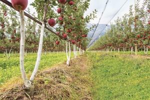 Bibaum sadnice: Jedan kalem sa dvije grane