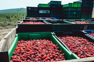 Oko 32,5 miliona KM za potporu proizvodnji jagodičastog voća