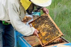 Dva posto europskih pčela ima gene afričkih - zato su agresivnije?