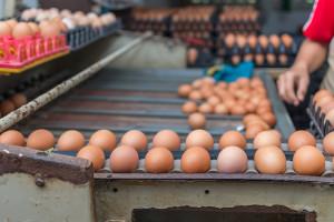 Cijene pilećih trupova u kolovozu rasle, jaja ostala na istoj razini