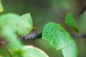 Šumski štetnik gubar prijeti hrastovima, ali i drugim vrstama listača, kako ih zaštititi?