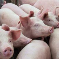 Potvrđena afrička svinjska kuga u Srbiji